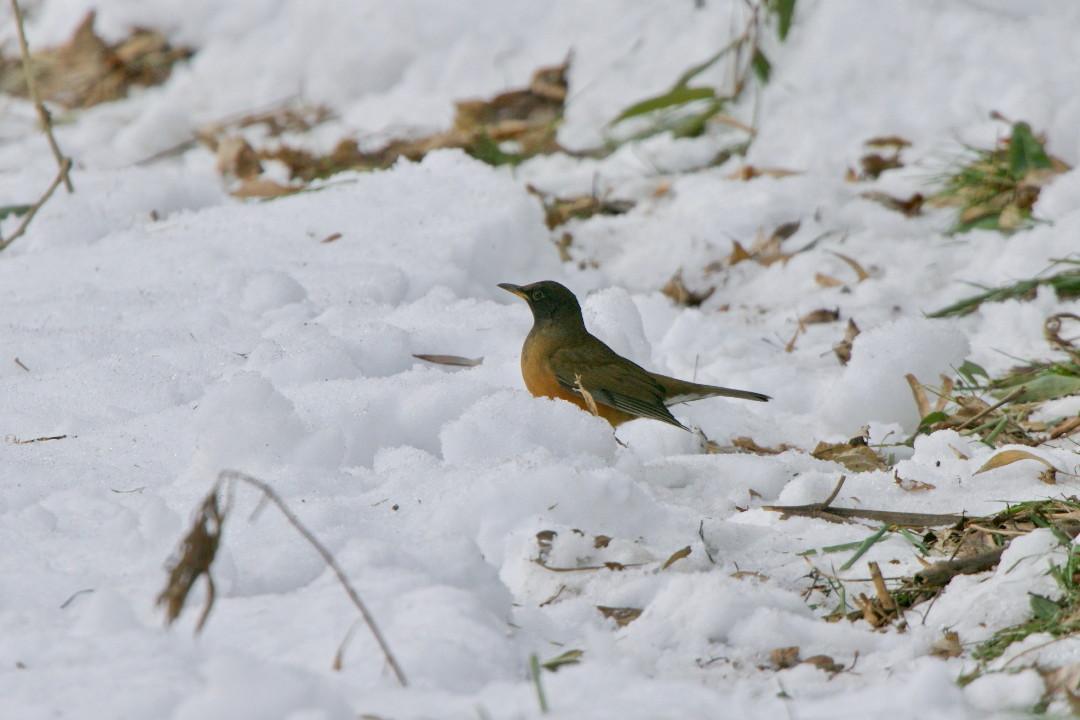 アカハラも雪の上_e0071967_18584066.jpg