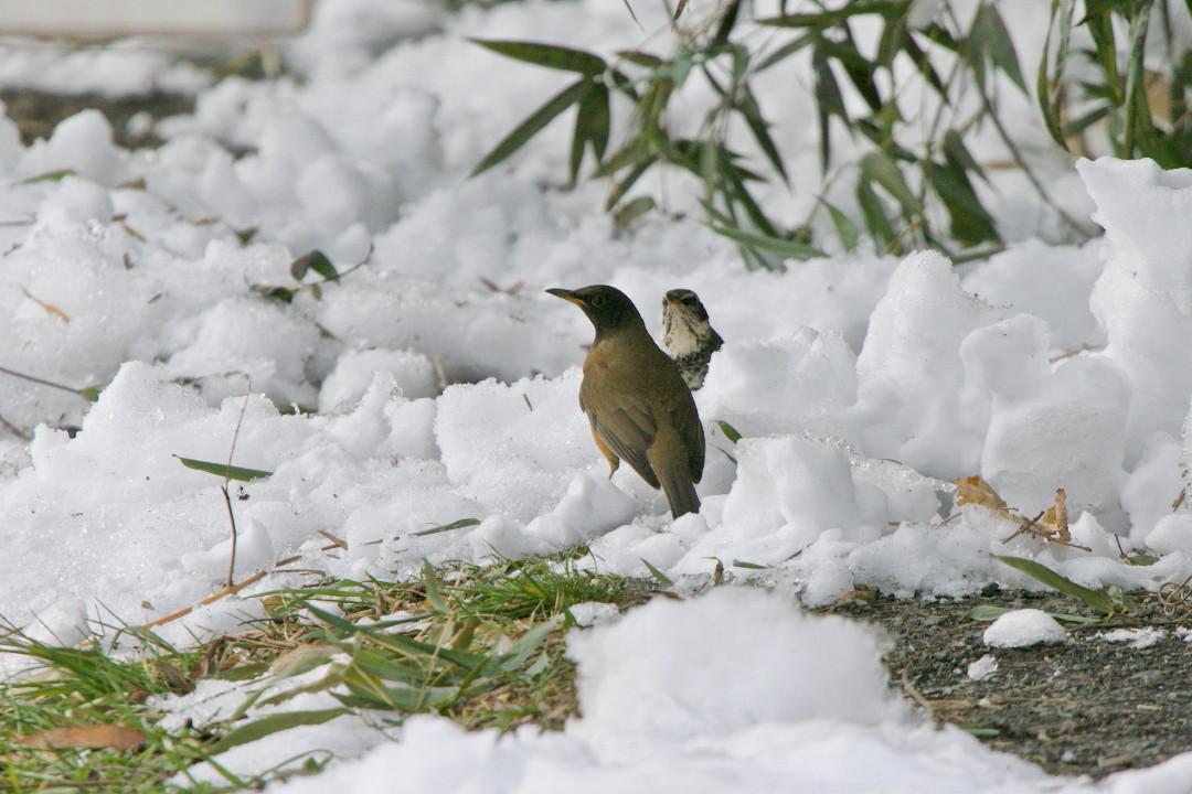 アカハラも雪の上_e0071967_18584214.jpg