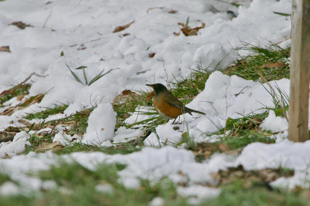 アカハラも雪の上_e0071967_18584356.jpg