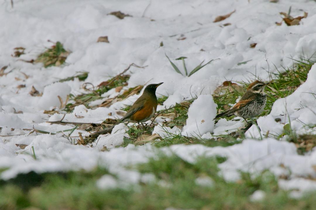 アカハラも雪の上_e0071967_18584462.jpg