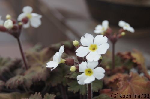 プリムラが咲き始め_e0181373_22012730.jpg