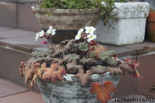 プリムラが咲き始め_e0181373_22013805.jpg