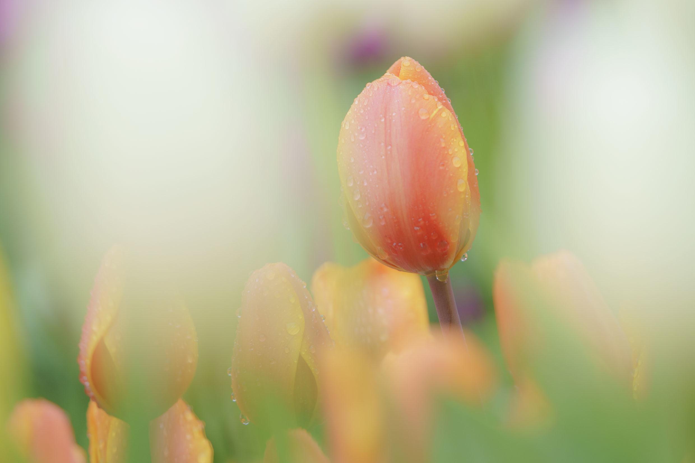 江の島ウィンターチューリップ 江ノ島は春色_b0145398_18245137.jpg