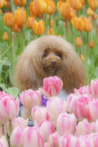 江の島ウィンターチューリップ 江ノ島は春色_b0145398_18250365.jpg