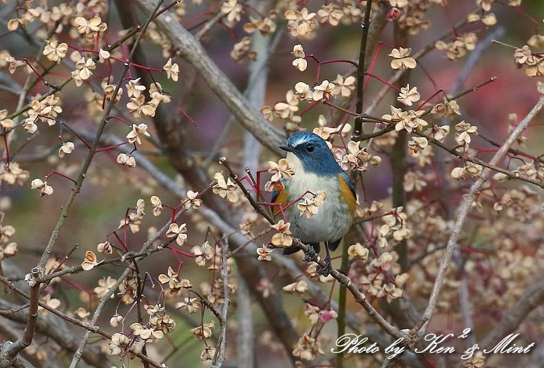 可愛い「ルリビタキ」さん♪ 花柄模様の背景の中で(*^^*)_e0218518_20425279.jpg