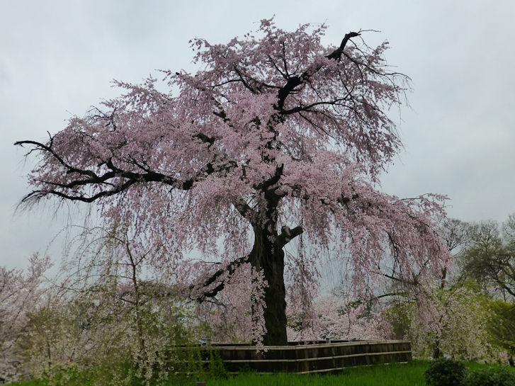 京都観桜編(22):円山公園・知恩院(15.3)_c0051620_17253490.jpg
