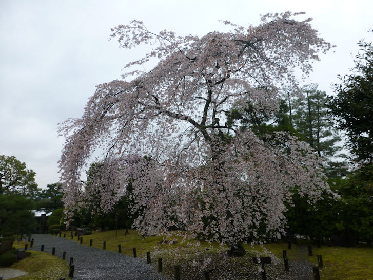 京都観桜編(22):円山公園・知恩院(15.3)_c0051620_17261011.jpg