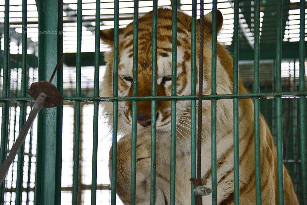 2018.1.28 岩手サファリパーク☆ゴールデンタイガーのボルタくん【Golden tiger】_f0250322_2204145.jpg