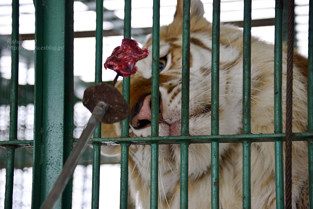 2018.1.28 岩手サファリパーク☆ゴールデンタイガーのボルタくん【Golden tiger】_f0250322_2205138.jpg