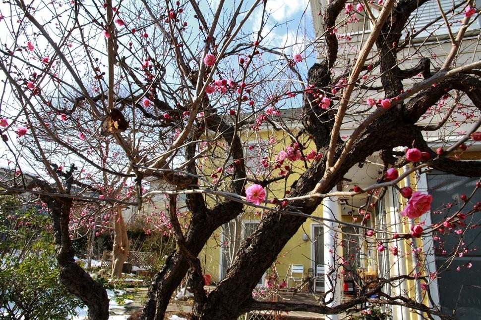 梅の切り方 _a0107574_15365646.jpg