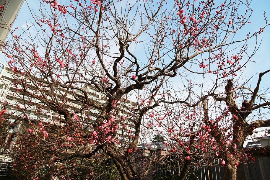 梅の切り方 _a0107574_15370432.jpg