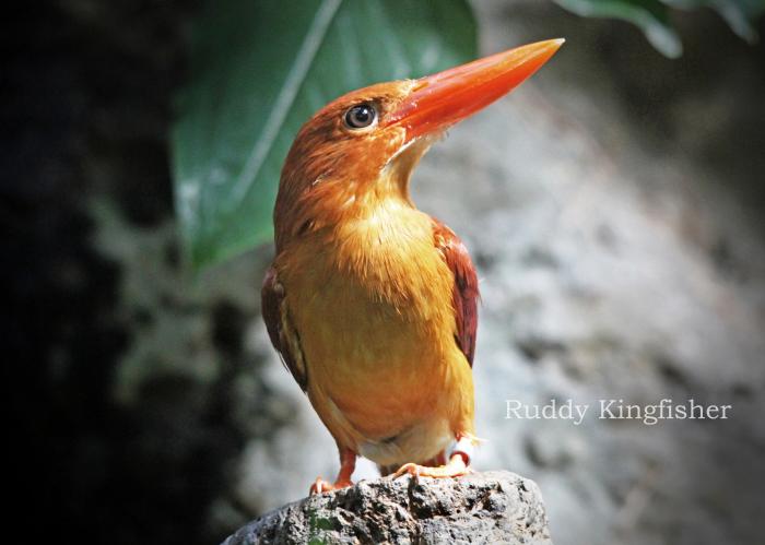 アカショウビン:Ruddy Kingfisher_b0249597_07390035.jpg