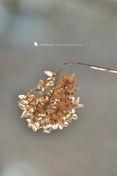 冬の紫陽花_c0319774_18055706.jpg