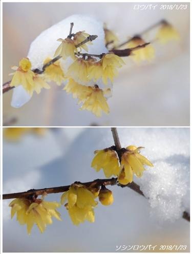 降雪はあれども春の兆し(福寿草/ロウバイ)_a0204089_6345290.jpg