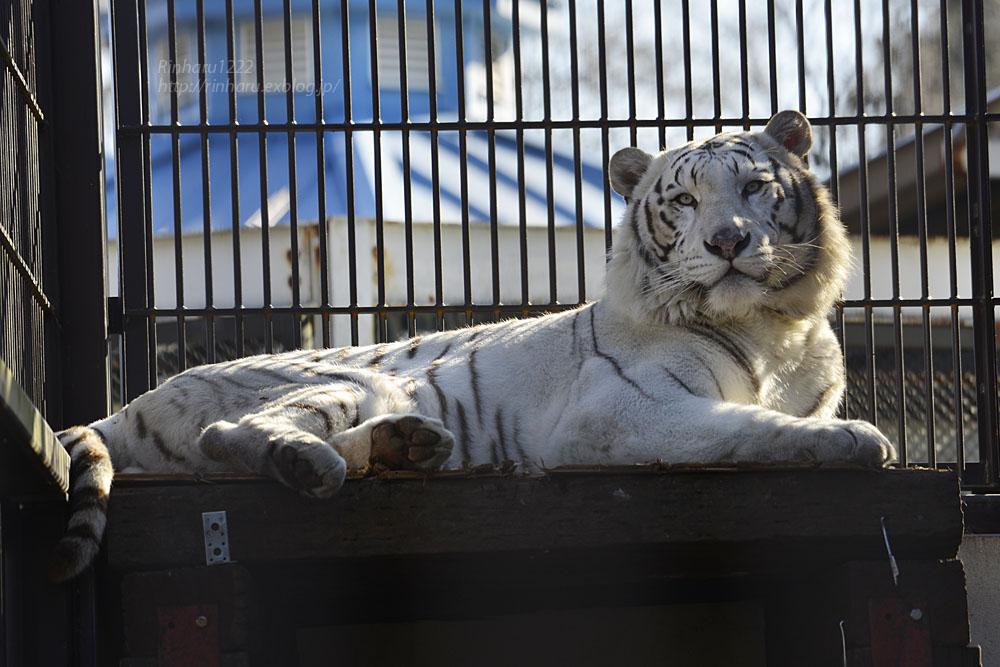 2018.1.6 宇都宮動物園☆ホワイトタイガーのアース王子<後編>【White tiger】_f0250322_19532184.jpg