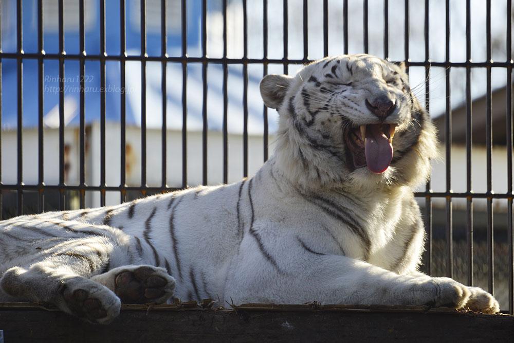 2018.1.6 宇都宮動物園☆ホワイトタイガーのアース王子<後編>【White tiger】_f0250322_1953331.jpg