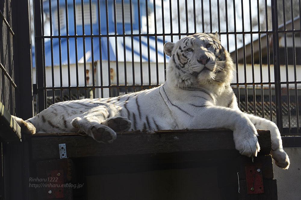 2018.1.6 宇都宮動物園☆ホワイトタイガーのアース王子<後編>【White tiger】_f0250322_19535148.jpg