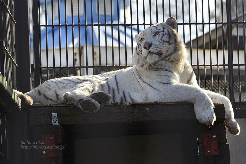 2018.1.6 宇都宮動物園☆ホワイトタイガーのアース王子<後編>【White tiger】_f0250322_19535680.jpg
