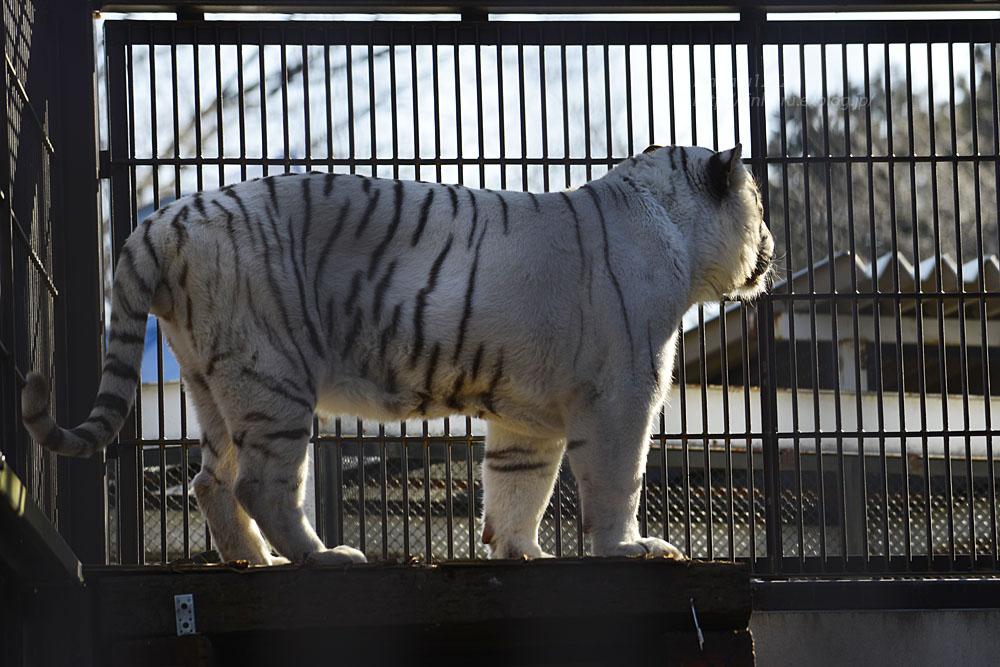 2018.1.6 宇都宮動物園☆ホワイトタイガーのアース王子<後編>【White tiger】_f0250322_1953599.jpg