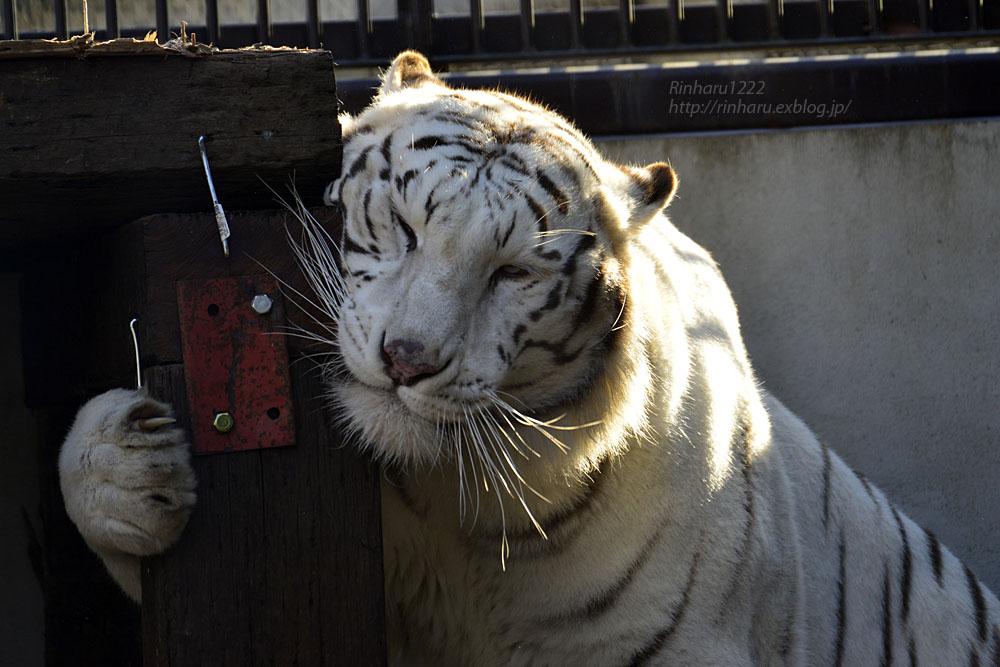 2018.1.6 宇都宮動物園☆ホワイトタイガーのアース王子<後編>【White tiger】_f0250322_1954538.jpg