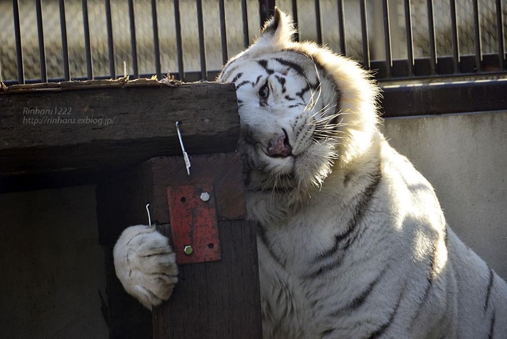 2018.1.6 宇都宮動物園☆ホワイトタイガーのアース王子<後編>【White tiger】_f0250322_1954981.jpg