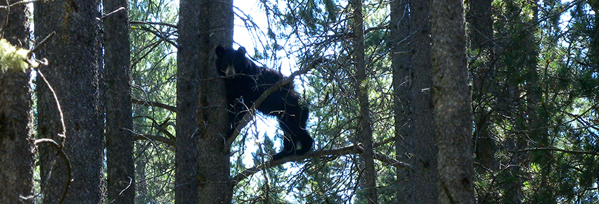 カナディアンロッキーに生息するクマを知ろう!_d0112928_07303966.jpg