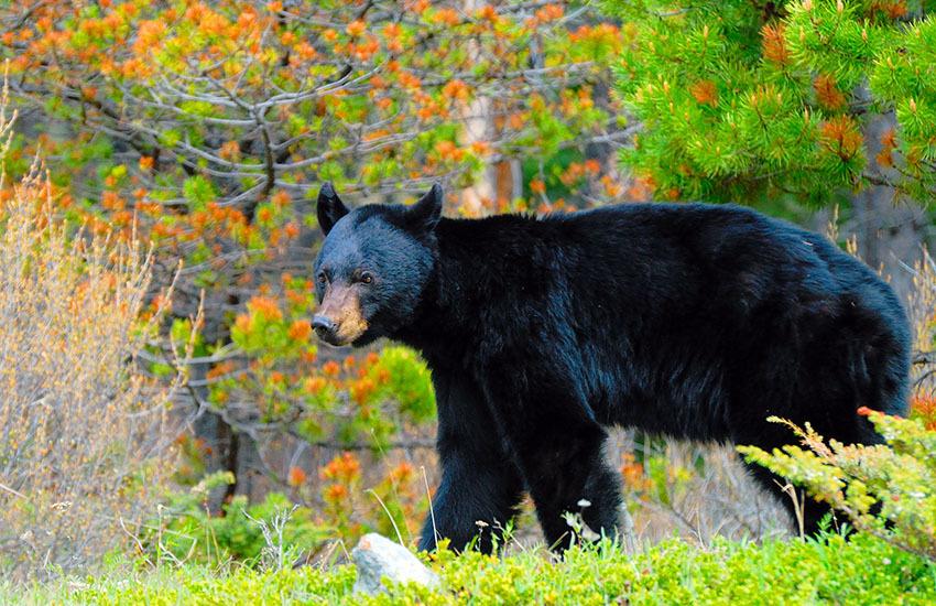 カナディアンロッキーに生息するクマを知ろう!_d0112928_08022200.jpg