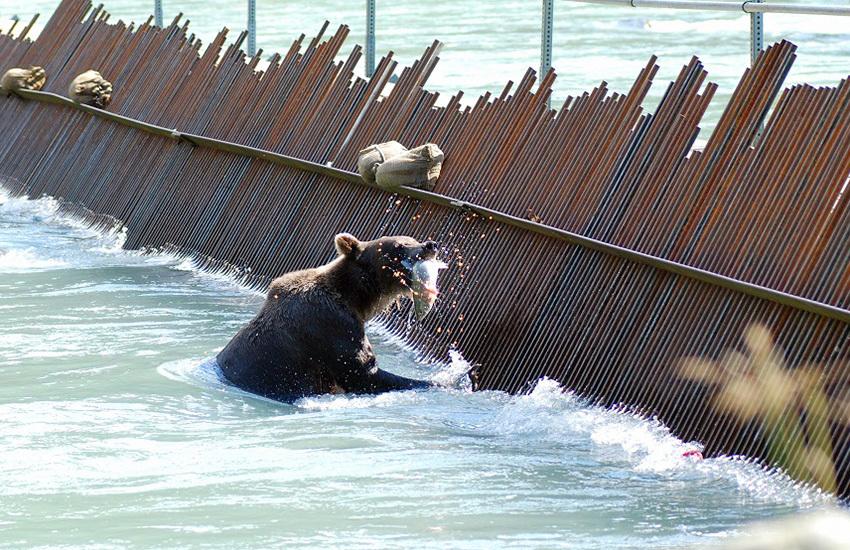 カナディアンロッキーに生息するクマを知ろう!_d0112928_08244073.jpg