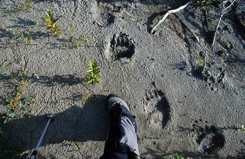 カナディアンロッキーに生息するクマを知ろう!_d0112928_08283888.jpg