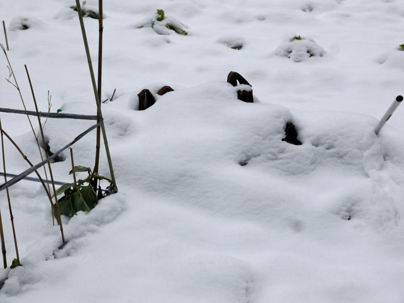 自宅前の雪かき15分で終了したが畑の野菜にまた試練2・2_c0014967_21042376.jpg