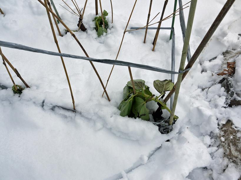 自宅前の雪かき15分で終了したが畑の野菜にまた試練2・2_c0014967_21055132.jpg