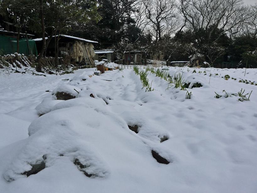 自宅前の雪かき15分で終了したが畑の野菜にまた試練2・2_c0014967_21092805.jpg