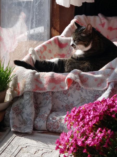 ポカポカ陽気の日のニャンズ♪ 猫草とオキザリスと・・・_a0136293_16550837.jpg