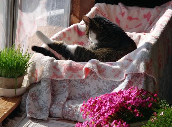 ポカポカ陽気の日のニャンズ♪ 猫草とオキザリスと・・・_a0136293_16573620.jpg