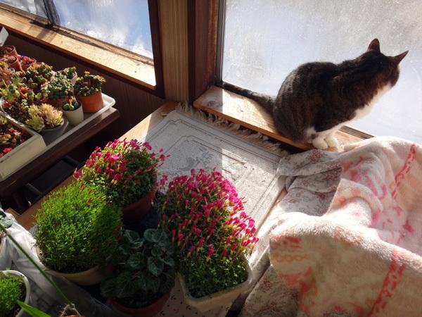 ポカポカ陽気の日のニャンズ♪ 猫草とオキザリスと・・・_a0136293_16594773.jpg