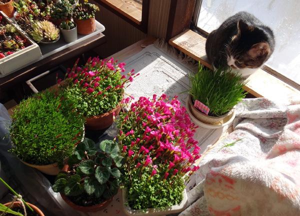 ポカポカ陽気の日のニャンズ♪ 猫草とオキザリスと・・・_a0136293_17013224.jpg