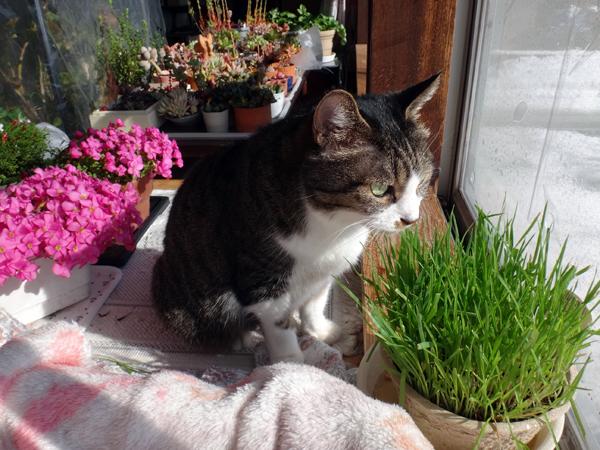 ポカポカ陽気の日のニャンズ♪ 猫草とオキザリスと・・・_a0136293_17041272.jpg