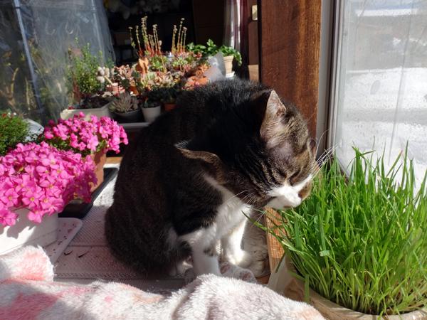 ポカポカ陽気の日のニャンズ♪ 猫草とオキザリスと・・・_a0136293_17044196.jpg