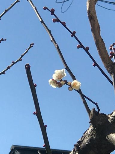 寒中にも梅咲く_f0101201_11215438.jpg