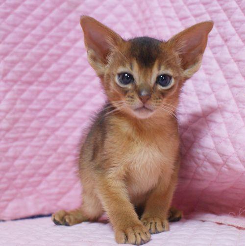 アビシニアン子猫ちゃん 家族募集 ルディ ブルー 12月10日生まれ2017' エンちゃんの子猫_e0033609_00411169.jpg