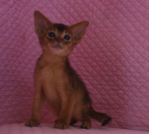 アビシニアン子猫ちゃん 家族募集 ルディ ブルー 12月10日生まれ2017' エンちゃんの子猫_e0033609_00411940.jpg