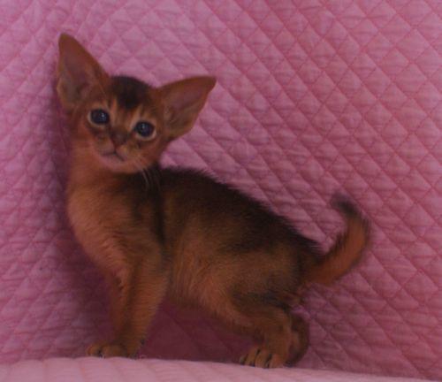アビシニアン子猫ちゃん 家族募集 ルディ ブルー 12月10日生まれ2017' エンちゃんの子猫_e0033609_00412688.jpg