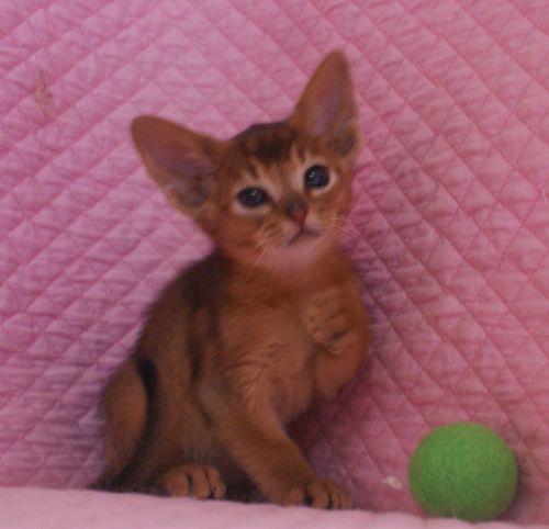 アビシニアン子猫ちゃん 家族募集 ルディ ブルー 12月10日生まれ2017' エンちゃんの子猫_e0033609_00455284.jpg