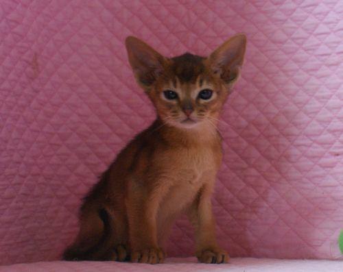 アビシニアン子猫ちゃん 家族募集 ルディ ブルー 12月10日生まれ2017' エンちゃんの子猫_e0033609_00455957.jpg