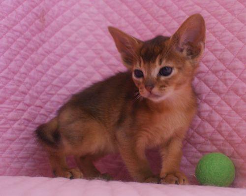アビシニアン子猫ちゃん 家族募集 ルディ ブルー 12月10日生まれ2017' エンちゃんの子猫_e0033609_00460616.jpg