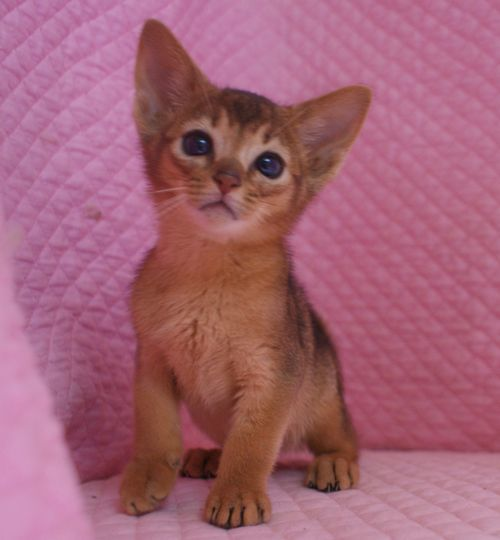 アビシニアン子猫ちゃん 家族募集 ルディ ブルー 12月10日生まれ2017' エンちゃんの子猫_e0033609_00484051.jpg