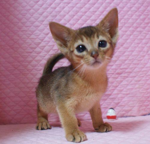 アビシニアン子猫ちゃん 家族募集 ルディ ブルー 12月10日生まれ2017' エンちゃんの子猫_e0033609_00484751.jpg