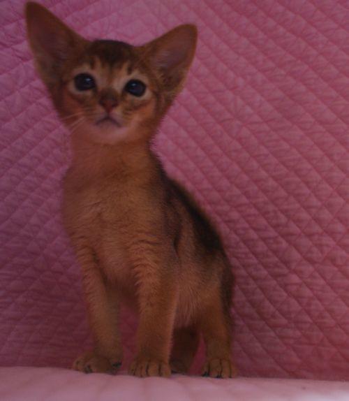 アビシニアン子猫ちゃん 家族募集 ルディ ブルー 12月10日生まれ2017' エンちゃんの子猫_e0033609_00485534.jpg