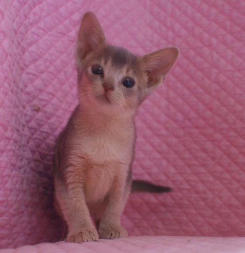 アビシニアン子猫ちゃん 家族募集 ルディ ブルー 12月10日生まれ2017' エンちゃんの子猫_e0033609_00513787.jpg
