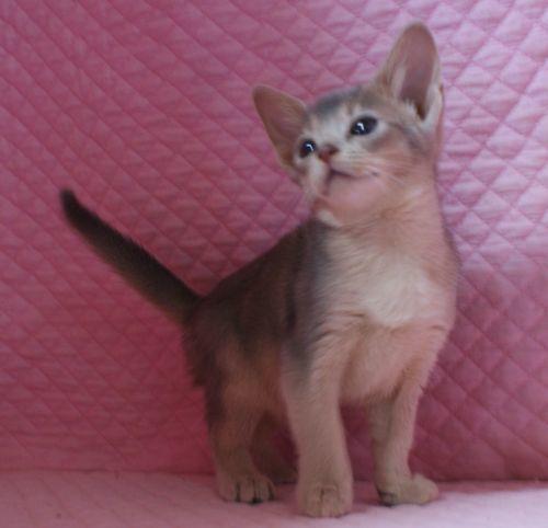アビシニアン子猫ちゃん 家族募集 ルディ ブルー 12月10日生まれ2017' エンちゃんの子猫_e0033609_00514667.jpg